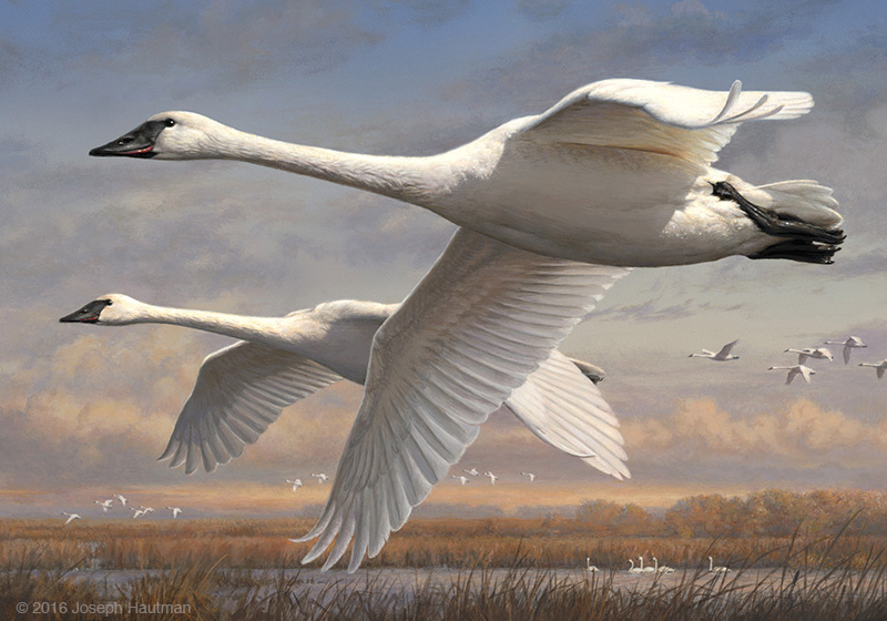 2016 Federal Duck Stamp Print of trumpeter swans
